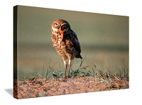 Burrowing owl at home